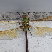 Pretty little dragon fly