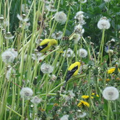 Goldfinch Flock stills
