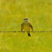 Our plucky Kingbirds..
