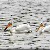 Two White American Pelicans!