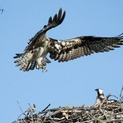 Meanwhile back at the Osprey nest
