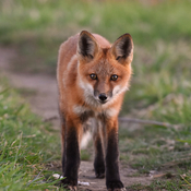 Curious young fox