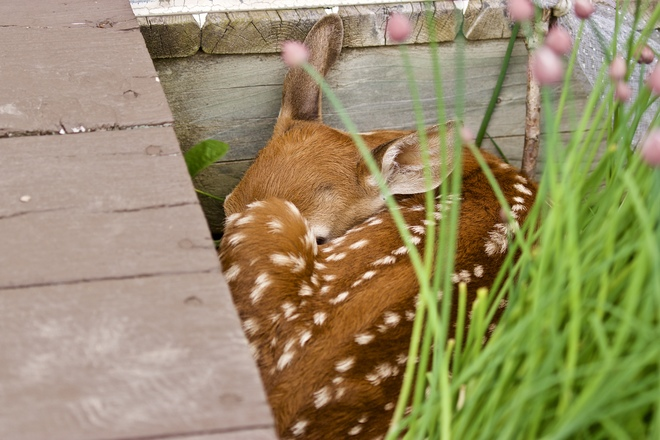 Fawn getting ready for a nap Quispamsis, New Brunswick