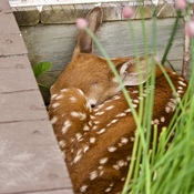 Fawn getting ready for a nap