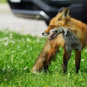 Young Foxes Live Among Community Members in Oakville, Ontario
