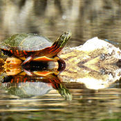 A Painted Turtle and a Damselfly