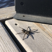 3 inch dock spider, soaking up the last of the days' sun...