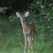 "Little ""Bud"" the deer comes to visit"