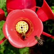 The bees and the Hummingbird Feeder