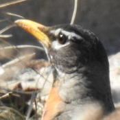 American Robin: up close and personal...