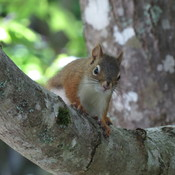 Immature, American Red Squirrel