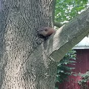 groundhog chillin in a tulip tree