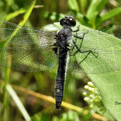 Dot tail Whiteface Dragonfly