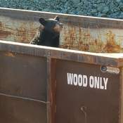 Bear poses for picture in a Wood Only dumpster