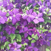 Beautiful Clematis