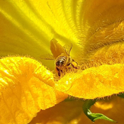 Honey bee at work!
