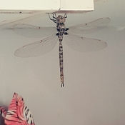 dragon fly