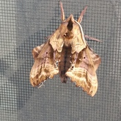 odd looking moth