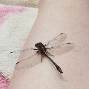 Dragonfly relaxing on my leg