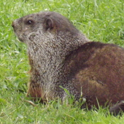 chunky ground hog