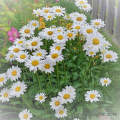 Daisies in full bloom