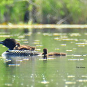 Loon with Young