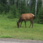 Elk outside Waskesiu