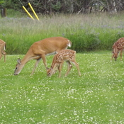 mother with 5 fawns