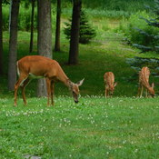 Female deer and her spotted babies.