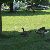 Canada Geese relaxing under a shaded tree