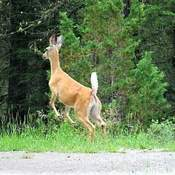 Leaping Whitetail Deer