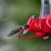 female ruby throated hummingbird georgetown, ontario, canada 2019 07 15