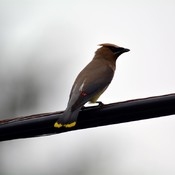 cedar waxwing Grand Valley, Ontario, Canada 2019 06 18