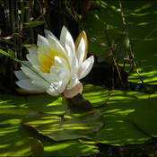Hidden water lily, Elliot Lake.
