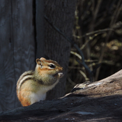 Chipmunk posing for my photo class