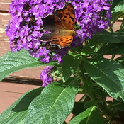 Butterfly on Heliotrope