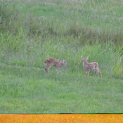 fawns and momma