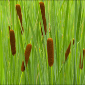 Cat tails, Elliot Lake.