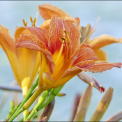 Day lily, Elliot Lake.