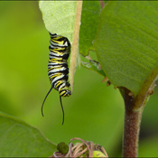 Monarch caterpillar, Elliot Lake.