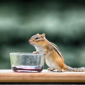 chipmunk, the grape jelly thief georgetown, ontario, canada