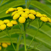 Tansy flowers, Elliot Lake.