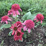 Double Raspberry Coneflower