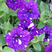 Petunia's Make Me Happy!!!
