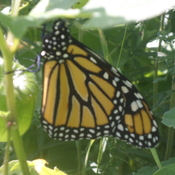 I'm ready for my close up.- Monarch Butterfly