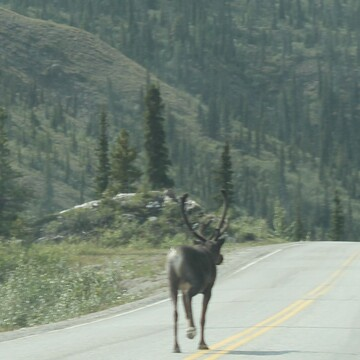 Mountain caribou along the Alaska highway ...