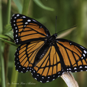 The stunning Viceroy butterfly