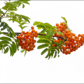Mountain ash berries, Elliot Lake.