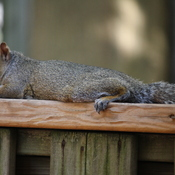 Tuckered Out Squirrel