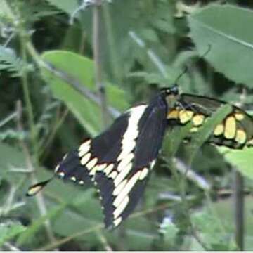 Better photo of the Giant Swallowtail